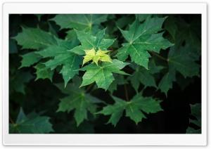 Maple Leaves Summer