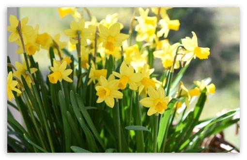 Download Daffodils UltraHD Wallpaper