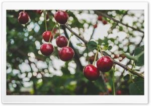 Cherries Branch