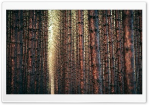 Dark Forest Autumn
