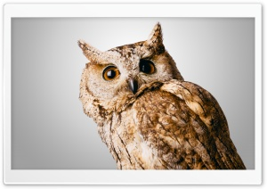 Owl Gray