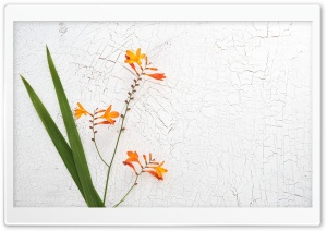 Orange Crocosmia Flower