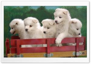 Wagonload Of Samoyed Puppies