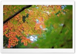 Maple, Autumn