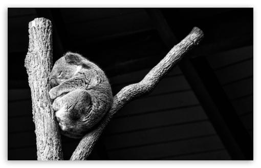Download Koala Taking A Nap UltraHD Wallpaper