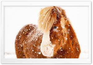 Icelandic Horse, Snowflakes,...