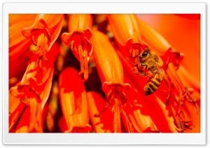 Bee, Aloe Flower