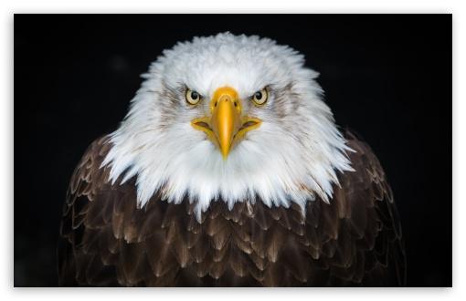 Download American Bald Eagle UltraHD Wallpaper