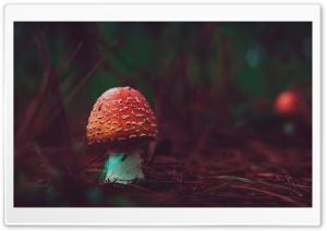 Poisonous Red Mushroom Macro