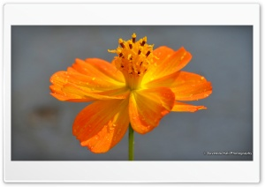 Tagetes Lucida - Mexican...