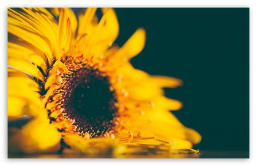 Download Yellow Sunflower UltraHD Wallpaper