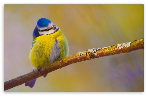 Download Blue Tit Bird UltraHD Wallpaper