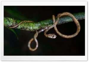 Cute Snake, Aplopeltura Boa,...