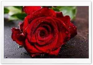 Red Rose Flower Macro, Water...