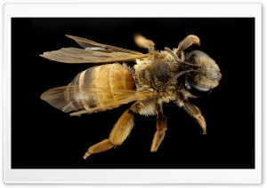 Andrena Bee Macro, Israel