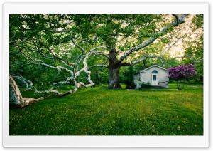 Beautiful Old Big Tree,...