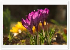 More Crocus Flowers