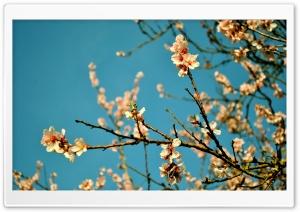 Peach Flowers, Spring