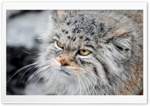 Grumpy Manul