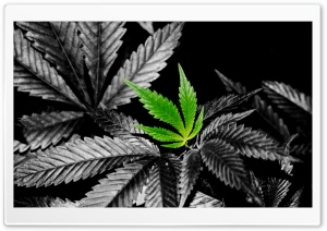 Weed HD Wallpaper In Color