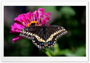 Black Swallowtail On A Zinnia...