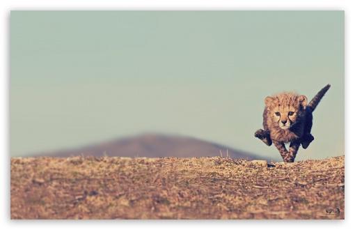 Download Young Cheetah UltraHD Wallpaper