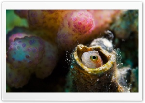 Blenny, Red Sea