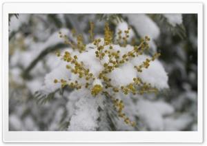 Mimosa Sous La Neige
