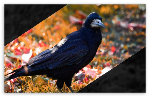 Download Crow UltraHD Wallpaper