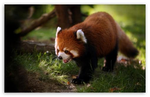 Download Brilliant Red Panda UltraHD Wallpaper