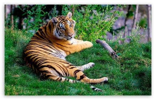 Download Tiger Resting On Green Grass UltraHD Wallpaper
