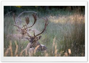 Stag, Animals, Wildlife