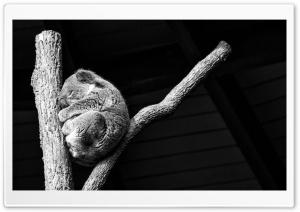 Koala Taking A Nap