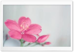 Spicy Jatropha Flower