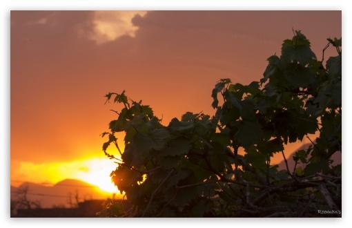 Download Grape Leaves Bathing In Sunlight UltraHD Wallpaper