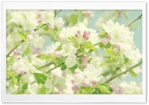 Apple Flowers Springtime