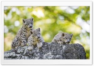 Adorable Snow Leopard Cubs...
