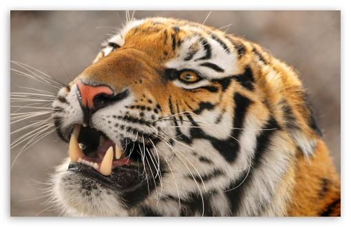 Download Tiger Roaring UltraHD Wallpaper
