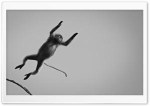 Dusky Langur Monkey Black and...