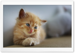 Kitten Cross Paws