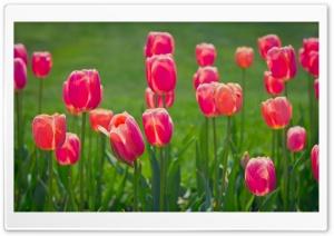 Pretty Tulips Flowers