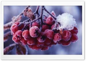 Rowans Fruits
