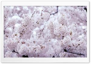 Sakura Vintage