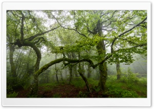 Green Forest Trees, Summer, Mist