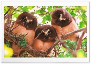 Three juveniles Northern...