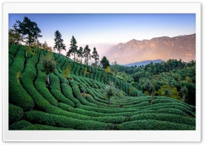 Tea Field, Taiwan