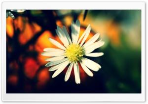 White Daisy Petals