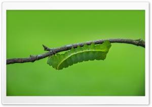 Green Caterpillar Macro