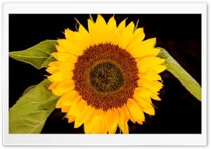 Sunflower Head, Black Background