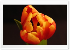 Tulip Flower From Above